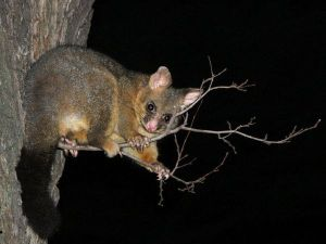 normal_Nickolay_Tilcheff-BrushTail_06